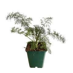 Plant de fenouil commun 'Purpureum' bio : en godet