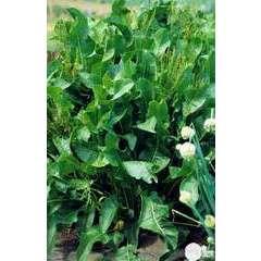 Plant de Raifort bio : en godet