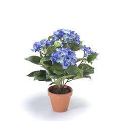 Hydrangea x7, dans pot terra cotta bleu foncé