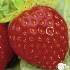 Plant de fraisier 'Mme Moutot' : pot de 0,5 litre