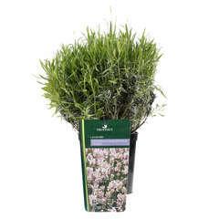 Lavandula angustifolia 'Rosea' : 3 L RC
