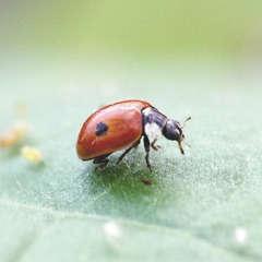Coccifly® 50 larves anti-puceron arbuste