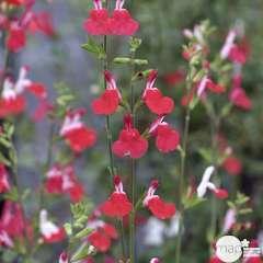 Salvia microphylla 'Hot Lips' : C.7L
