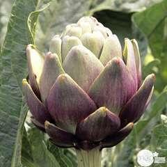 Plant d'artichaut violet 'Amethyste' F1 : pot de 1 litre