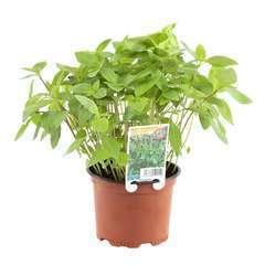 Plant de basilic 'Thaï' : pot de 0,5 litre