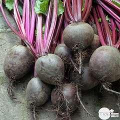 Plants de betteraves rouge ronde 'Pablo F1' : barquette de 12 plants