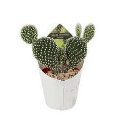 Cactus variés: pot D6,5 cm