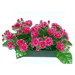 Jardinière 40Cm de 48 chrysantheme fushia , H35CM - L50Cm, 5Kg