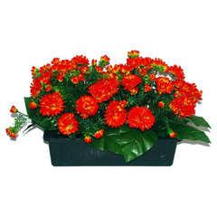 Jardinière 40Cm de 48 chrysantheme tabac , H35CM - L50Cm, 5Kg