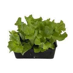 Plants de batavia 'Blonde Matinale' : barquette de 12 plants