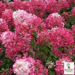 Hydrangea paniculata ' Diamant Rouge ' ® :conteneur 7L