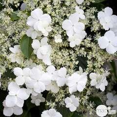 Hydrangea petiolaris: hauteur 90/120  cm conteneur 3 litres