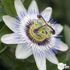 Passiflora caerulea, pyramide : ctr de 6 litres