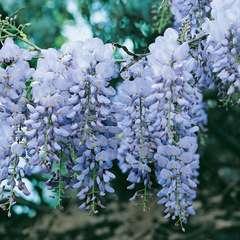 Wisteria sinensis bleu : pot 6L Pyramide