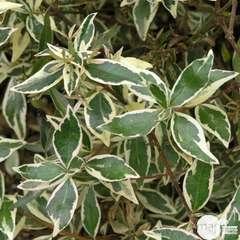 Abelia x grandiflora 'Confetti®  vtr déco 10 L