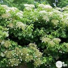 Hydrangea petiolaris : Tipi : ctr de 3 litres