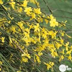 Jasminum varié : Tipi : ctr de 3 Litres