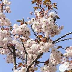 Prunus serrulata Shirofugen : 25 litres