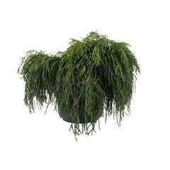 Chamaecyparis pisifera Sungold : H 30/40 cm : pot 5 L