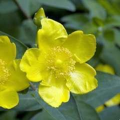 Hypericum x ' Hidcote ' : H 40/60 cm : ctr 4 litres (jaune)