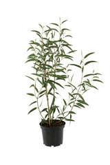 Eucalyptus variés: pot 4L