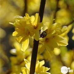 Forsythia x intermedia Week-End ® ' Courtalyne ' : C 10 L (jaune d'or)