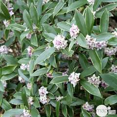 Daphne odora 'Aureomarginata' : ctr 7.5 L
