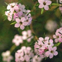Diosma hirsuta ' Pink Fontaine ' : ctr 3 litres