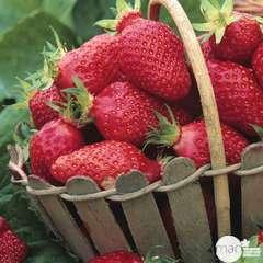 Plants de fraisiers 'Gariguette' bio : barquette de 4 plants