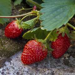 Plants de fraisiers 'Cirafine' bio : barquette de 4 plants
