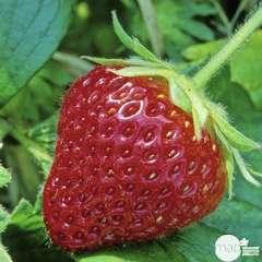 Plants de fraisiers 'Cijosée' bio : barquette de 4 plants
