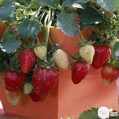 Plants de fraisiers 'Elan' : en suspension