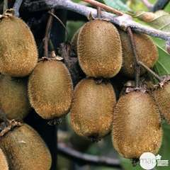Kiwi chinensis Solissimo® 'Renact' : pot de 5 litres
