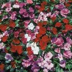 Impatiens de Nouvelle Guinée: barquette 6 plants - Coloris variables
