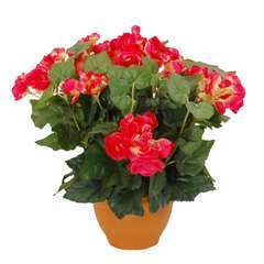 Begonia en pot Ø 17,5 cm, rose foncé Ø 35 x H. 37 cm