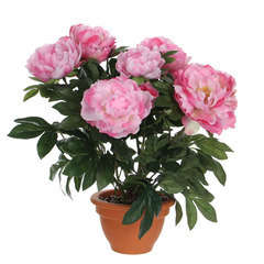 Pivoine en pot Ø 17,5 cm, rose Ø 45 x H. 50 cm