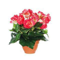 Begonia en pot Ø 11,5 cm, rose foncé Ø 20 x H. 25 cm