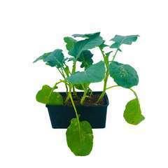 Plants de choux Brocoli 'Koros' : barquette de 6 plants