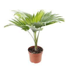 Livistona Rotundifolia : H40/50 cm pot diamètre 12 cm