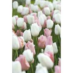 Bulbes de tulipes ton abricot et blanc - x15
