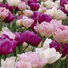 Bulbes de tulipes rose, pourpre et blanc - x15