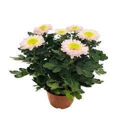 Chrysanthème uniflore:6 fleurs gerbera conteneur 3 litres