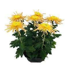 Chrysanthème uniflore:6 fleurs spider grosses têtes coupe