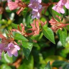 Abelia x grandiflora 'Sherwood':7,5L