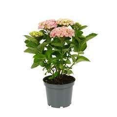 Hydrangea Selection : conteneur de 5 L