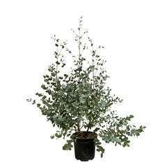 Eucalyptus gunnii : 7,5L Touffe