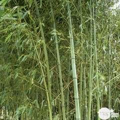 Bambou aurea H.100/150 cm, pot 10 L