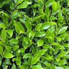 Prunus lusitanica 'Myrtifolia':H 80/100 cm ctr 7L