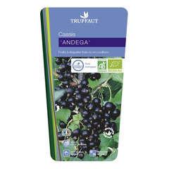 Cassissier 'Andega' bio : pot de 3 litres