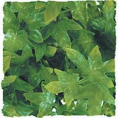 Zoomed - Plante Congo Ivy pour Terrarium